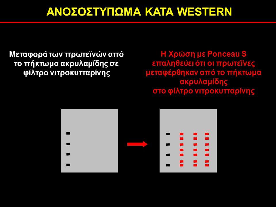 ΑΝΟΣΟΣΤΥΠΩΜΑ ΚΑΤΑ WESTERN H Χρώση με Ponceau S επαληθεύει ότι οι πρωτεΐνες μεταφέρθηκαν από το πήκτωμα ακρυλαμίδης στο φίλτρο νιτροκυτταρίνης Μεταφορά των πρωτεϊνών από το πήκτωμα ακρυλαμίδης σε φίλτρο νιτροκυτταρίνης