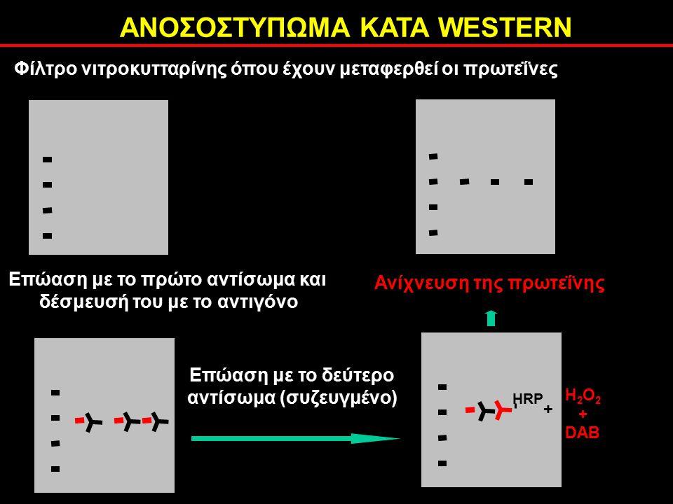 ΑΝΟΣΟΣΤΥΠΩΜΑ ΚΑΤΑ WESTERN Επώαση με το πρώτο αντίσωμα και δέσμευσή του με το αντιγόνο Επώαση με το δεύτερο αντίσωμα (συζευγμένο) HRP H 2 O 2 + DAB + Ανίχνευση της πρωτεΐνης Φίλτρο νιτροκυτταρίνης όπου έχουν μεταφερθεί οι πρωτεΐνες