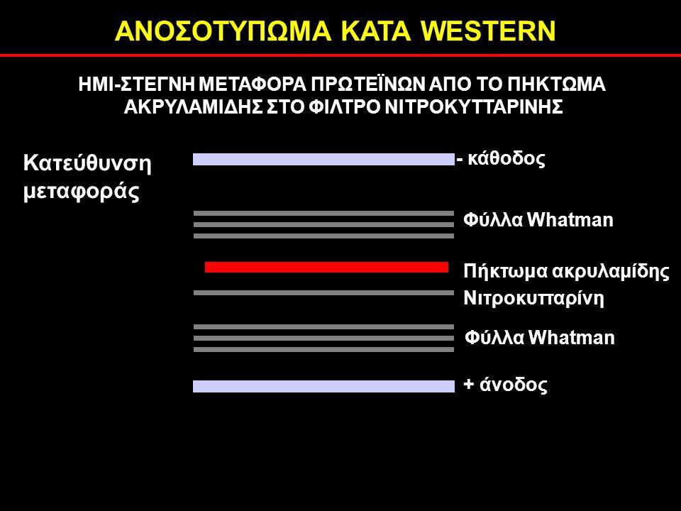 ΑΝΟΣΟΤΥΠΩΜΑ ΚΑΤΑ WESTERN ΗΜΙ-ΣΤΕΓΝΗ ΜΕΤΑΦΟΡΑ ΠΡΩΤΕΪΝΩΝ ΑΠΟ ΤΟ ΠΗΚΤΩΜΑ ΑΚΡΥΛΑΜΙΔΗΣ ΣΤΟ ΦΙΛΤΡΟ ΝΙΤΡΟΚΥΤΤΑΡΙΝΗΣ - κάθοδος Φύλλα Whatman + άνοδος Νιτροκυτταρίνη Πήκτωμα ακρυλαμίδης Κατεύθυνση μεταφοράς