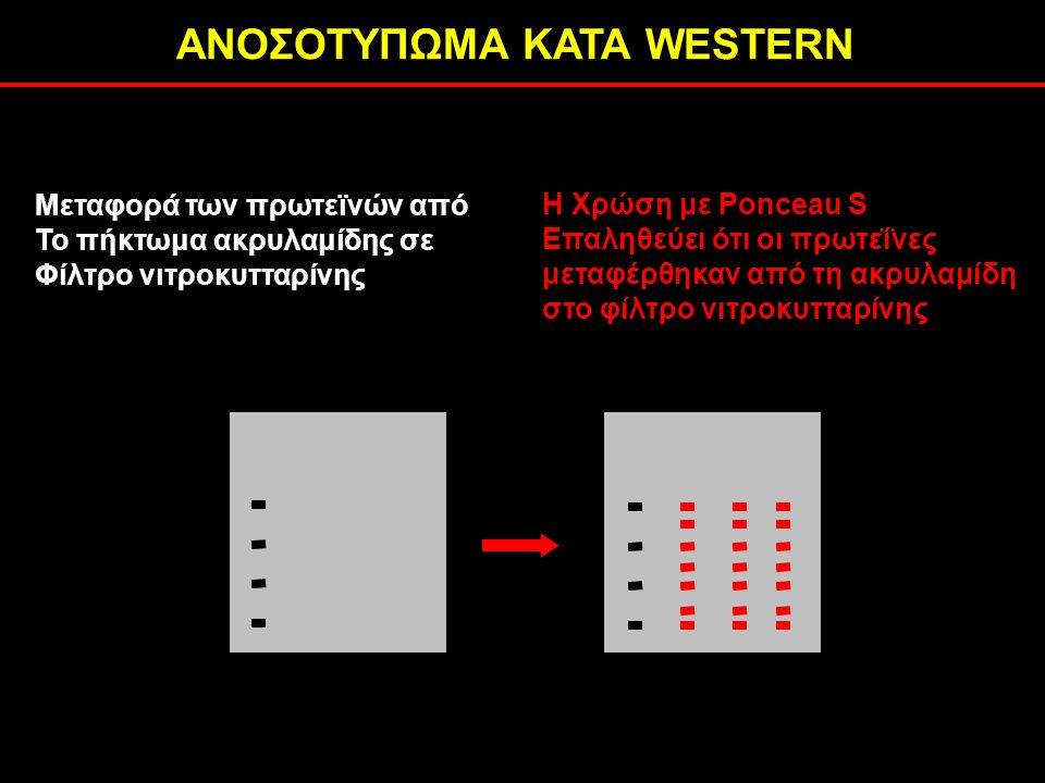 ΑΝΟΣΟΤΥΠΩΜΑ ΚΑΤΑ WESTERN H Χρώση με Ponceau S Επαληθεύει ότι οι πρωτεΐνες μεταφέρθηκαν από τη ακρυλαμίδη στο φίλτρο νιτροκυτταρίνης Μεταφορά των πρωτεϊνών από Το πήκτωμα ακρυλαμίδης σε Φίλτρο νιτροκυτταρίνης
