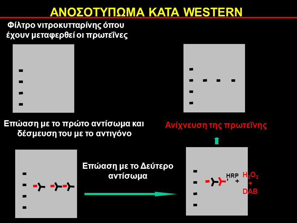 ΑΝΟΣΟΤΥΠΩΜΑ ΚΑΤΑ WESTERN Επώαση με το πρώτο αντίσωμα και δέσμευση του με το αντιγόνο Επώαση με το Δεύτερο αντίσωμα HRP H 2 O 2 + DAB + Ανίχνευση της πρωτεΐνης Φίλτρο νιτροκυτταρίνης όπου έχουν μεταφερθεί οι πρωτεΐνες