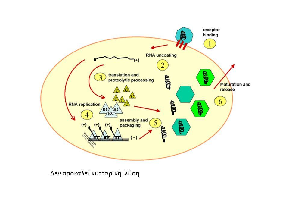 Δεν προκαλεί κυτταρική λύση