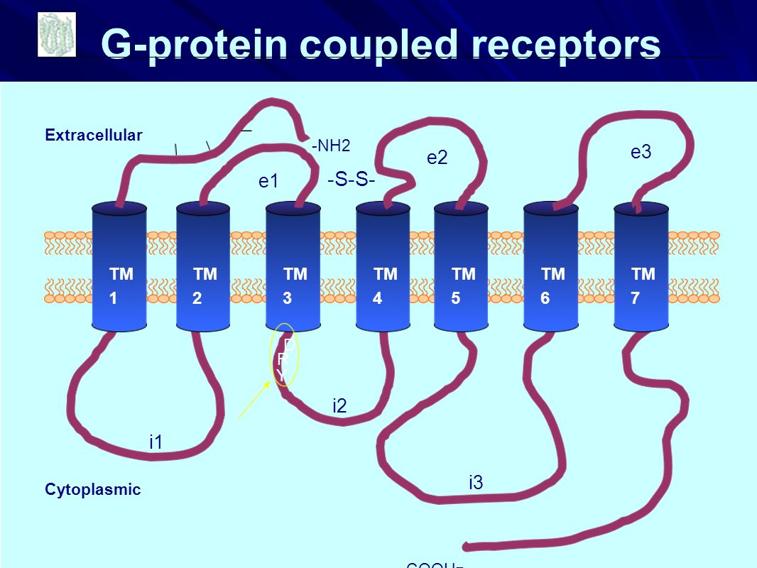 Extracellular Cytoplasmic COOH - -NH2 i1 i2 i3 e1 e2 e3 TM 1 TM 2 TM 3 TM 4 TM 5 TM 6 TM 7 D R Y G-protein coupled receptors -S-S-