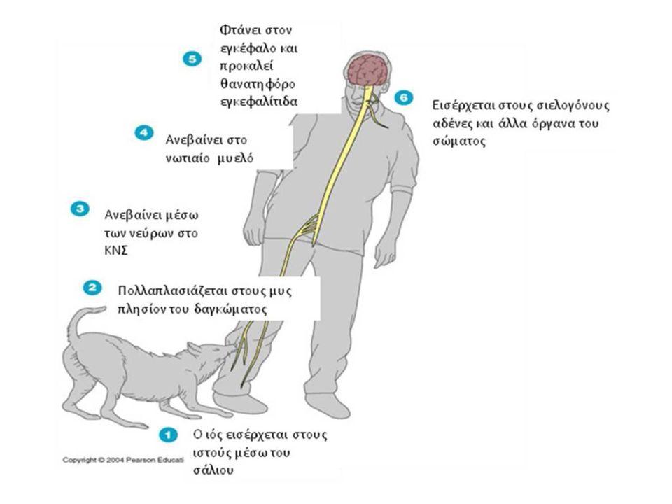 ΠΡΟΛΑΜΒΑΝΕΤΑΙ; Η λύσσα προλαμβάνεται κατά 100% στον άνθρωπο, με προϋπόθεση την άμεση και κατάλληλη ιατρική φροντίδα (εμβολιασμός και έλεγχος των ζώων, εκπαίδευση ατόμων υψηλού κινδύνου, πρόσβαση ατόμων με δήγμα στις δομές παροχής ιατρικής φροντίδας).