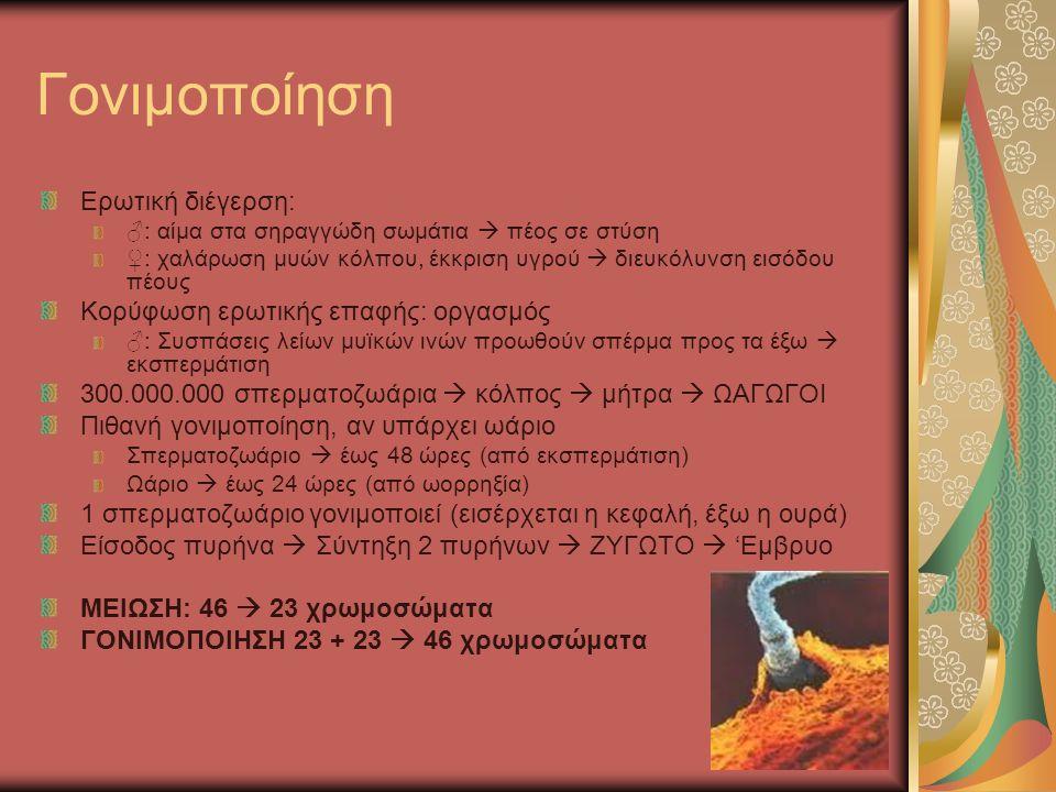 Γονιμοποίηση Ερωτική διέγερση: ♂: αίμα στα σηραγγώδη σωμάτια  πέος σε στύση ♀: χαλάρωση μυών κόλπου, έκκριση υγρού  διευκόλυνση εισόδου πέους Κορύφωση ερωτικής επαφής: οργασμός ♂: Συσπάσεις λείων μυϊκών ινών προωθούν σπέρμα προς τα έξω  εκσπερμάτιση 300.000.000 σπερματοζωάρια  κόλπος  μήτρα  ΩΑΓΩΓΟΙ Πιθανή γονιμοποίηση, αν υπάρχει ωάριο Σπερματοζωάριο  έως 48 ώρες (από εκσπερμάτιση) Ωάριο  έως 24 ώρες (από ωορρηξία) 1 σπερματοζωάριο γονιμοποιεί (εισέρχεται η κεφαλή, έξω η ουρά) Είσοδος πυρήνα  Σύντηξη 2 πυρήνων  ΖΥΓΩΤΟ  'Εμβρυο ΜΕΙΩΣΗ: 46  23 χρωμοσώματα ΓΟΝΙΜΟΠΟΙΗΣΗ 23 + 23  46 χρωμοσώματα