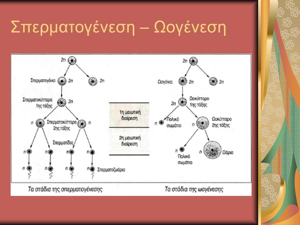 Σπερματογένεση – Ωογένεση