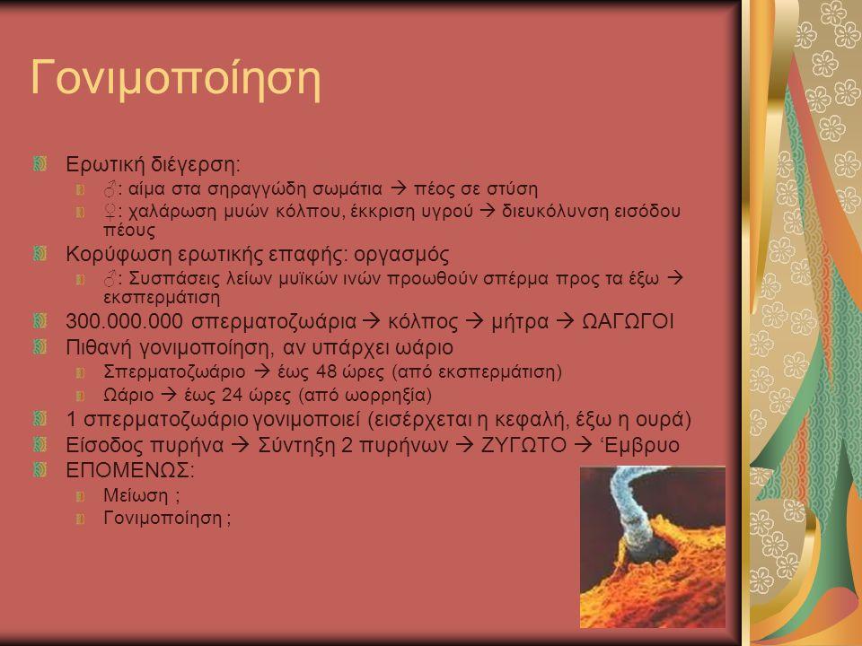 Γονιμοποίηση Ερωτική διέγερση: ♂: αίμα στα σηραγγώδη σωμάτια  πέος σε στύση ♀: χαλάρωση μυών κόλπου, έκκριση υγρού  διευκόλυνση εισόδου πέους Κορύφωση ερωτικής επαφής: οργασμός ♂: Συσπάσεις λείων μυϊκών ινών προωθούν σπέρμα προς τα έξω  εκσπερμάτιση 300.000.000 σπερματοζωάρια  κόλπος  μήτρα  ΩΑΓΩΓΟΙ Πιθανή γονιμοποίηση, αν υπάρχει ωάριο Σπερματοζωάριο  έως 48 ώρες (από εκσπερμάτιση) Ωάριο  έως 24 ώρες (από ωορρηξία) 1 σπερματοζωάριο γονιμοποιεί (εισέρχεται η κεφαλή, έξω η ουρά) Είσοδος πυρήνα  Σύντηξη 2 πυρήνων  ΖΥΓΩΤΟ  'Εμβρυο ΕΠΟΜΕΝΩΣ: Μείωση ; Γονιμοποίηση ;