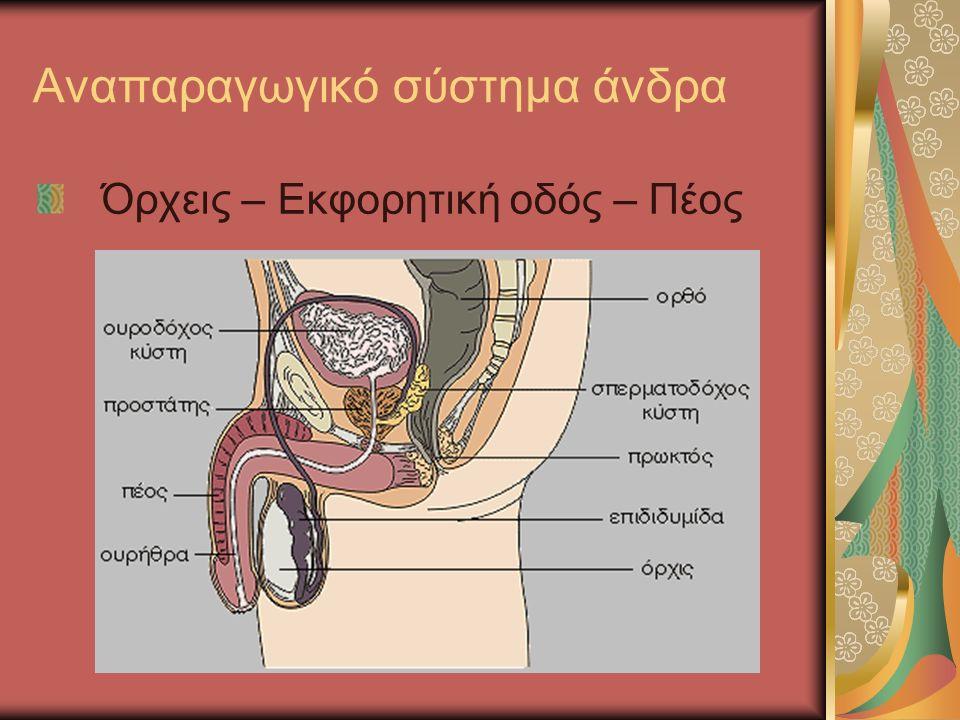 Αναπαραγωγικό σύστημα άνδρα Όρχεις – Εκφορητική οδός – Πέος