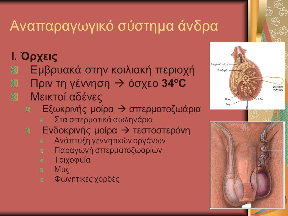 I. Όρχεις Εμβρυακά στην κοιλιακή περιοχή Πριν τη γέννηση  όσχεο 34ºC Μεικτοί αδένες Εξωκρινής μοίρα  σπερματοζωάρια Στα σπερματικά σωληνάρια Ενδοκρι
