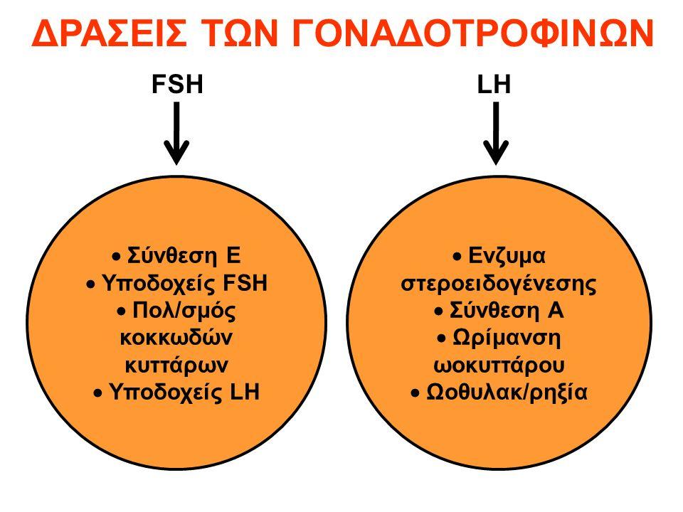  Σύνθεση Ε  Υποδοχείς FSH  Πολ/σμός κοκκωδών κυττάρων  Υποδοχείς LH  Ενζυμα στεροειδογένεσης  Σύνθεση Α  Ωρίμανση ωοκυττάρου  Ωοθυλακ/ρηξία FSHLH ΔΡΑΣΕΙΣ ΤΩΝ ΓΟΝΑΔΟΤΡΟΦΙΝΩΝ