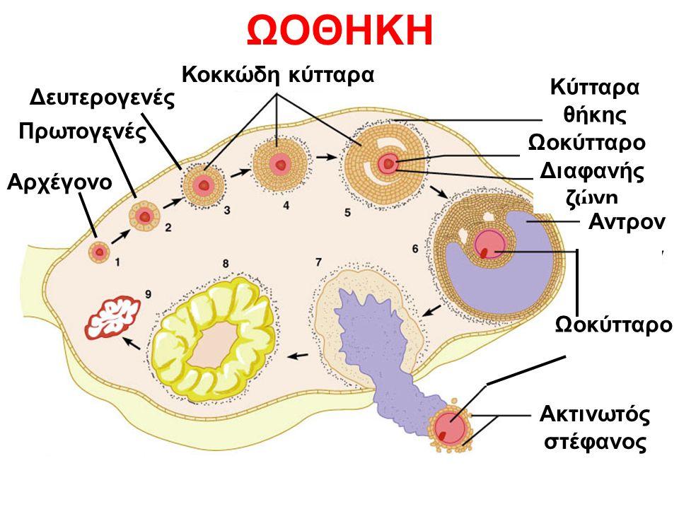 Κοκκώδη κύτταρα Κύτταρα θήκης Ωοκύτταρο Διαφανής ζώνη Αντρον Ωοκύτταρο Ακτινωτός στέφανος Αρχέγονο Πρωτογενές Δευτερογενές ΩΟΘΗΚΗ