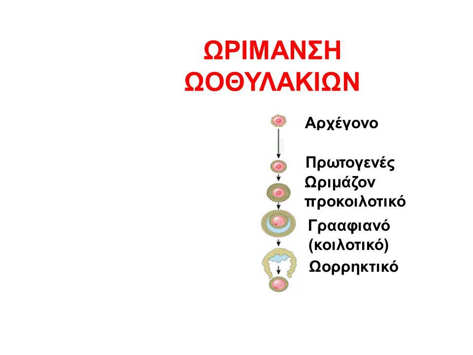 Αρχέγονο Ωριμάζον προκοιλοτικό Γρααφιανό (κοιλοτικό) Ωορρηκτικό ΩΡΙΜΑΝΣΗ ΩΟΘΥΛΑΚΙΩΝ Πρωτογενές