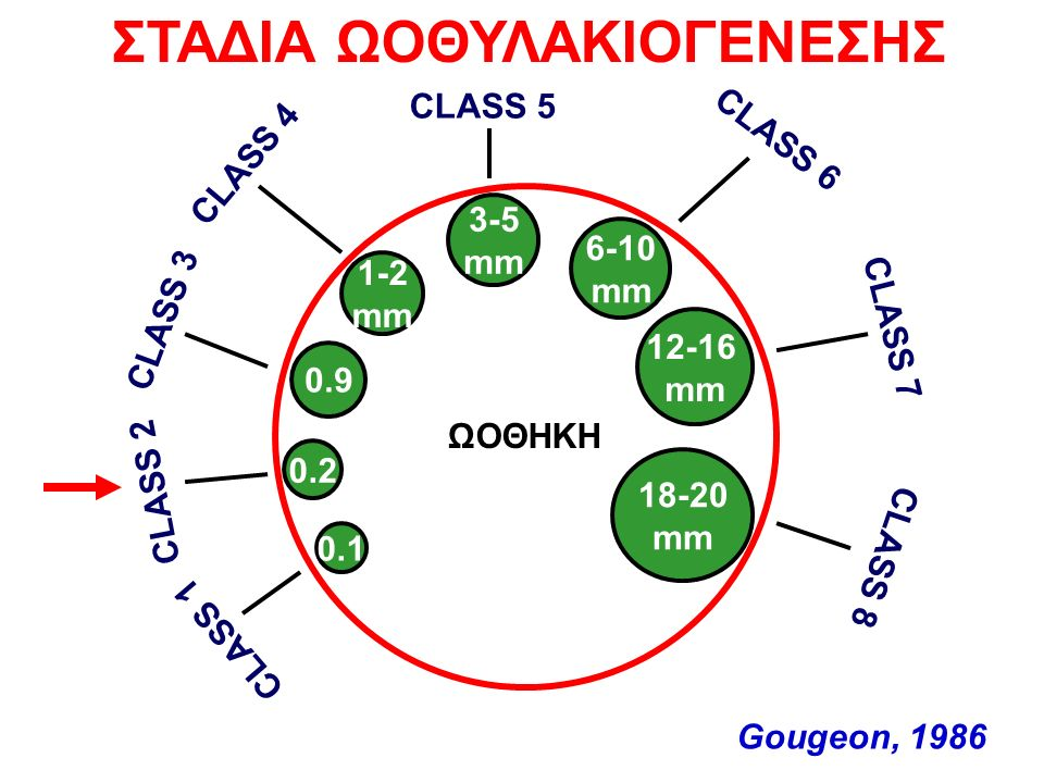 18-20 mm 12-16 mm 6-10 mm 3-5 mm 1-2 mm 0.2 0.1 CLASS 1 CLASS 2 CLASS 3 CLASS 4 CLASS 5 CLASS 6 CLASS 7 CLASS 8 ΣΤΑΔΙΑ ΩΟΘΥΛΑΚΙΟΓΕΝΕΣΗΣ 0.9 ΩΟΘΗΚΗ Gougeon, 1986