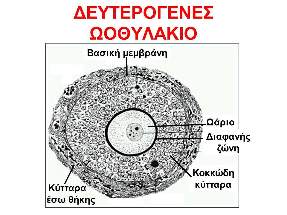 ΔΕΥΤΕΡΟΓΕΝΕΣ ΩΟΘΥΛΑΚΙΟ Βασική μεμβράνη Ωάριο Διαφανής ζώνη Κοκκώδη κύτταρα Κύτταρα έσω θήκης