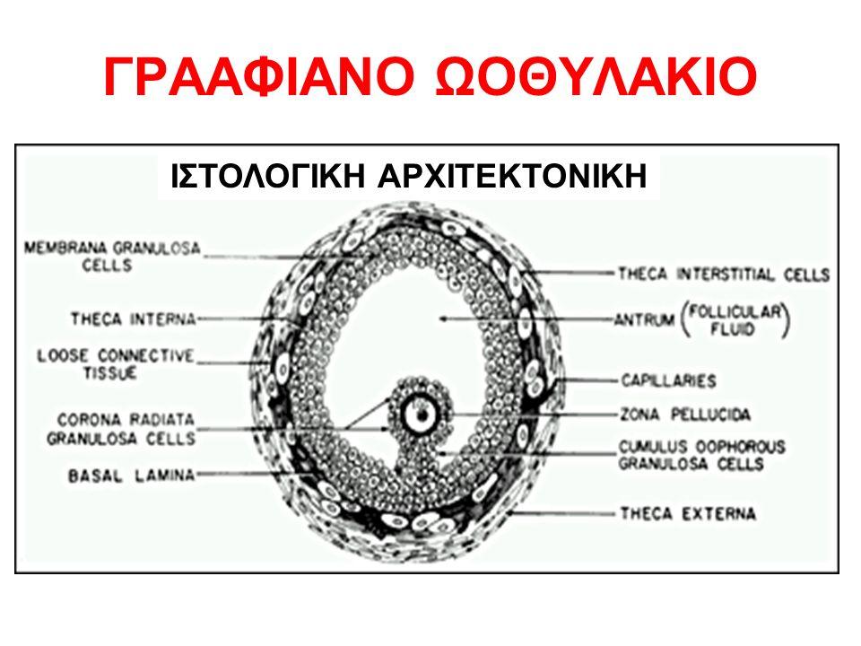 ΓΡΑΑΦΙΑΝΟ ΩΟΘΥΛΑΚΙΟ ΙΣΤΟΛΟΓΙΚΗ ΑΡΧΙΤΕΚΤΟΝΙΚΗ