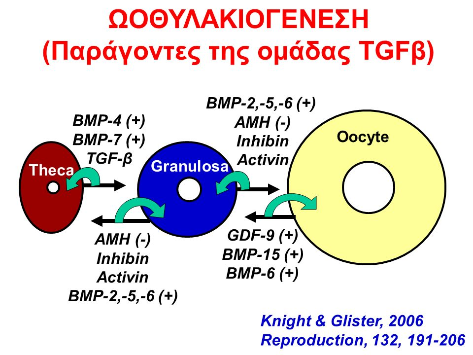 BMP-4 (+) BMP-7 (+) TGF-β ΑΜΗ (-) Inhibin Activin BMP-2,-5,-6 (+) Theca Granulosa Oocyte BMP-2,-5,-6 (+) AMH (-) Inhibin Activin GDF-9 (+) BMP-15 (+) BMP-6 (+) ΩOΘΥΛΑΚΙΟΓΕΝΕΣΗ (Παράγοντες της ομάδας TGFβ) Knight & Glister, 2006 Reproduction, 132, 191-206