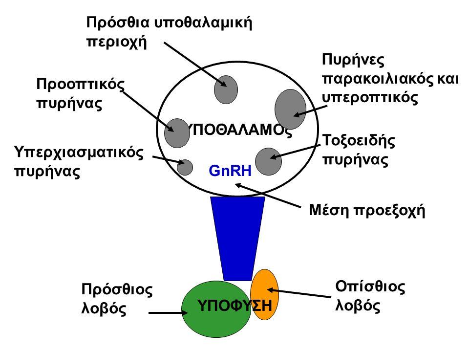 ΥΠΟΘΑΛΑΜΟς Πυρήνες παρακοιλιακός και υπεροπτικός Τοξοειδής πυρήνας Προοπτικός πυρήνας Υπερχιασματικός πυρήνας Πρόσθιος λοβός Οπίσθιος λοβός Πρόσθια υποθαλαμική περιοχή Μέση προεξοχή ΥΠΟΦΥΣΗ GnRH