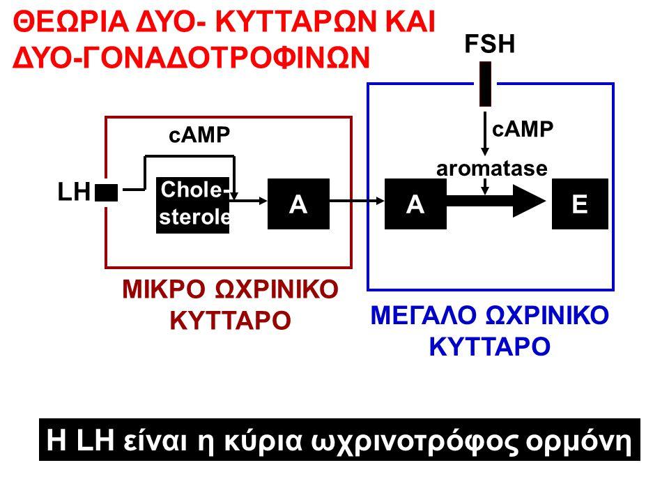 A Chole- sterole cAMP LH FSH aromatase cAMP ΘΕΩΡΙΑ ΔΥΟ- ΚΥΤΤΑΡΩΝ ΚΑΙ ΔΥΟ-ΓΟΝΑΔΟΤΡΟΦΙΝΩΝ ΜΕΓΑΛΟ ΩΧΡΙΝΙΚΟ ΚΥΤΤΑΡΟ ΜΙΚΡΟ ΩΧΡΙΝΙΚΟ ΚΥΤΤΑΡΟ EA Η LH είναι η κύρια ωχρινοτρόφος ορμόνη