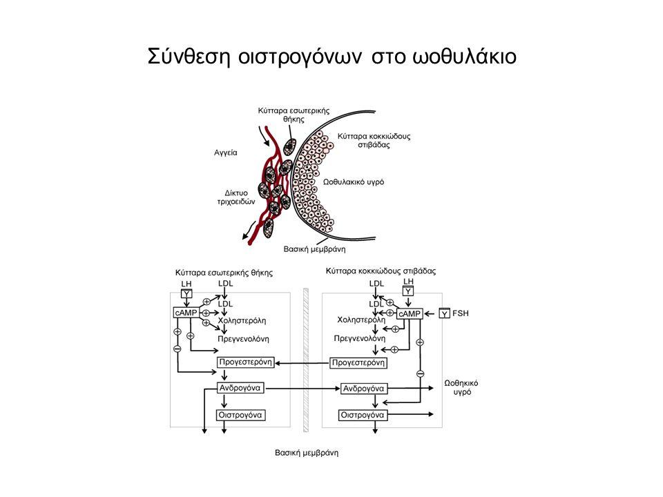 Σύνθεση οιστρογόνων στο ωοθυλάκιο