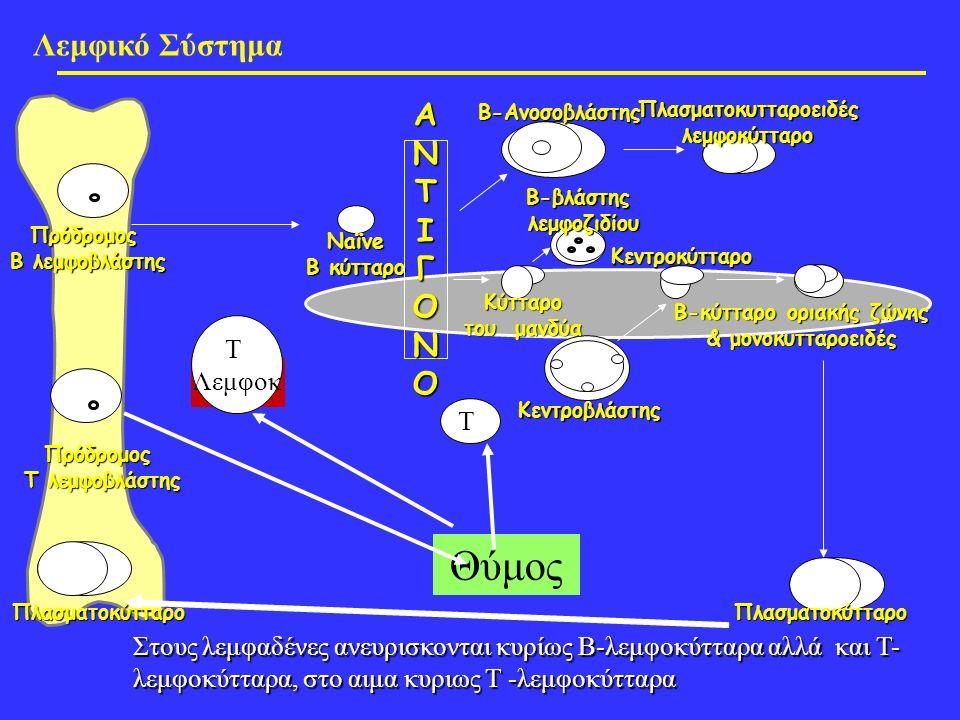 Λεμφικό Σύστημα Πλασματοκύτταρο Πρόδρομος Β λεμφοβλάστης Κεντροβλάστης Κύτταρο του μανδύα Β-βλάστηςλεμφοζιδίουΒ-Ανοσοβλάστης Πλασματοκυτταροειδές λεμφοκύτταρο Κεντροκύτταρο Β-κύτταρο οριακής ζώνης & μονοκυτταροειδές Naïve B κύτταρο ΑΝΤΙΓΟΝΟ Πρόδρομος Τ λεμφοβλάστης Θύμος Τ Λεμφοκ Τ Πλασματοκύτταρο Στους λεμφαδένες ανευρισκονται κυρίως Β-λεμφοκύτταρα αλλά και Τ- λεμφοκύτταρα, στο αιμα κυριως Τ -λεμφοκύτταρα