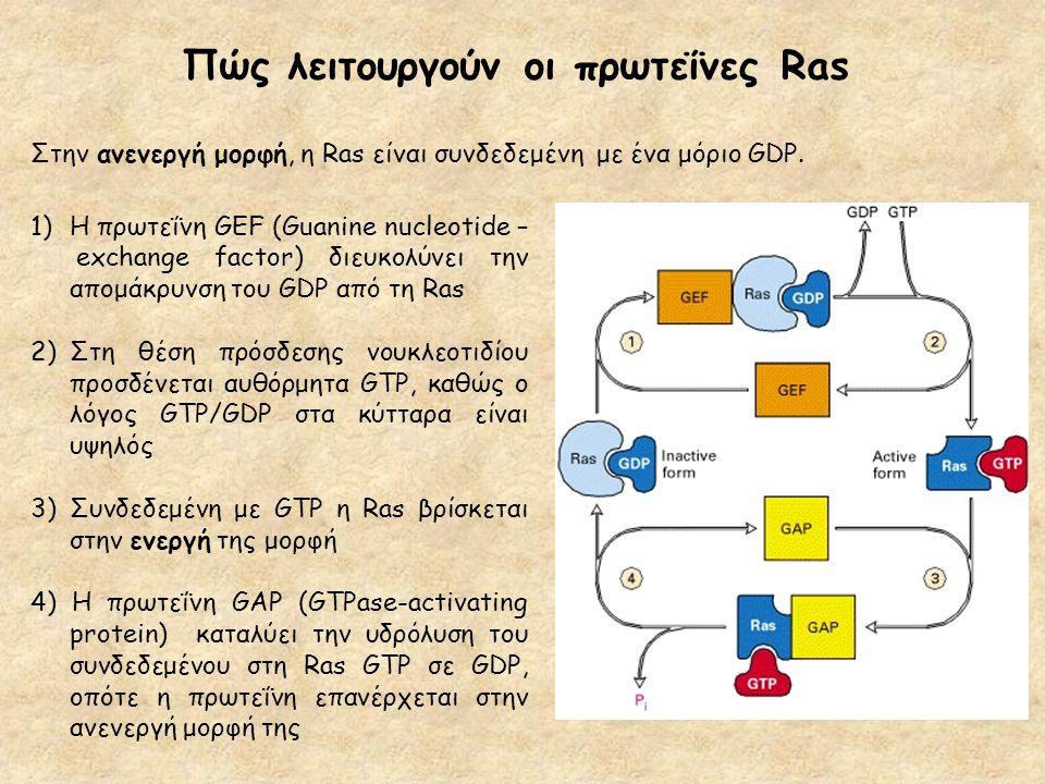 Πώς λειτουργούν οι πρωτεΐνες Ras 1)H πρωτεΐνη GEF (Guanine nucleotide – exchange factor) διευκολύνει την απομάκρυνση του GDP από τη Ras 2)Στη θέση πρό