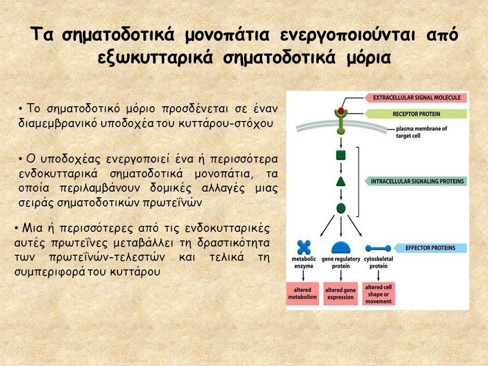Τα σηματοδοτικά μονοπάτια ενεργοποιούνται από εξωκυτταρικά σηματοδοτικά μόρια Το σηματοδοτικό μόριο προσδένεται σε έναν διαμεμβρανικό υποδοχέα του κυτ