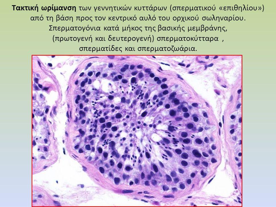 Τακτική ωρίμανση των γεννητικών κυττάρων (σπερματικού «επιθηλίου») από τη βάση προς τον κεντρικό αυλό του ορχικού σωληναρίου. Σπερματογόνια κατά μήκος