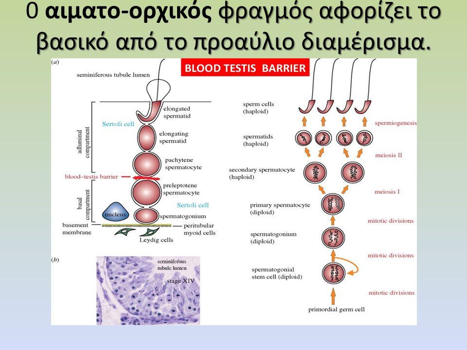 δύο έως τέσσερα γεννητικά κύτταρα (σπερματογόνια) Φυσιολογικός όρχις προ της ήβης, σε 8χρονο αγόρι.