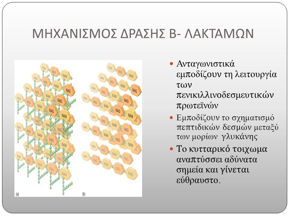 ΜΗΧΑΝΙΣΜΟΣ ΔΡΑΣΗΣ Β - ΛΑΚΤΑΜΩΝ Ανταγωνιστικά εμποδίζουν τη λειτουργία των πενικιλλινοδεσμευτικών πρωτεϊνών Εμποδίζουν το σχηματισμό πεπτιδικών δεσμών μεταξύ των μορίων γλυκάνης Το κυτταρικό τοιχωμα αναπτύσσει αδύνατα σημεία και γίνεται εύθραυστο.