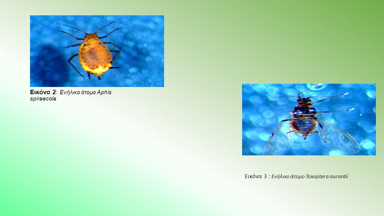Εικόνα 2: Ενήλικο άτομο Aphis spiraecola Εικόνα 3 : Ενήλικο άτομο Toxoptera aurantii
