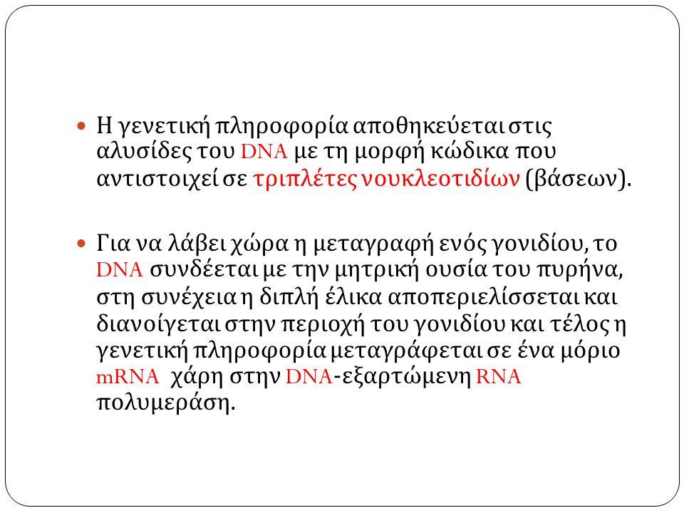 Η γενετική πληροφορία αποθηκεύεται στις αλυσίδες του DNA με τη μορφή κώδικα που αντιστοιχεί σε τριπλέτες νουκλεοτιδίων ( βάσεων ).