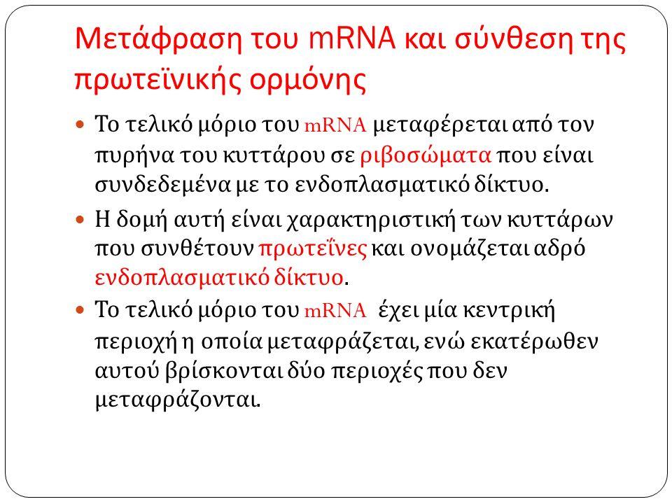 Μετάφραση του mRNA και σύνθεση της πρωτεϊνικής ορμόνης Το τελικό μόριο του mRNA μεταφέρεται από τον πυρήνα του κυττάρου σε ριβοσώματα που είναι συνδεδεμένα με το ενδοπλασματικό δίκτυο.