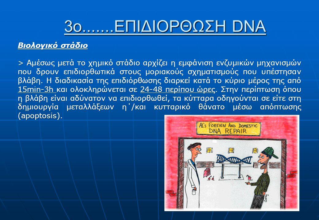 3ο.......ΕΠΙΔΙΟΡΘΩΣΗ DNA Βιολογικό στάδιο > Αμέσως μετά το χημικό στάδιο αρχίζει η εμφάνιση ενζυμικών μηχανισμών που δρουν επιδιορθωτικά στους μοριακούς σχηματισμούς που υπέστησαν βλάβη.