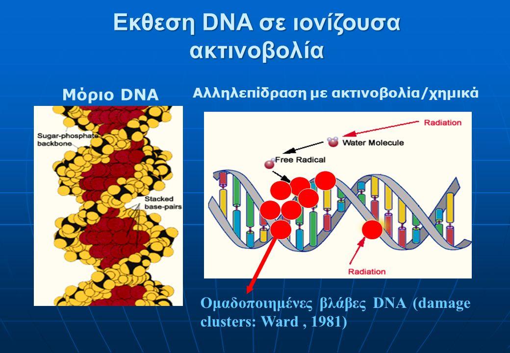 Εκθεση DNA σε ιονίζουσα ακτινοβολία Μόριο DNA Αλληλεπίδραση με ακτινοβολία/χημικά Ομαδοποιημένες βλάβες DNA (damage clusters: Ward, 1981)
