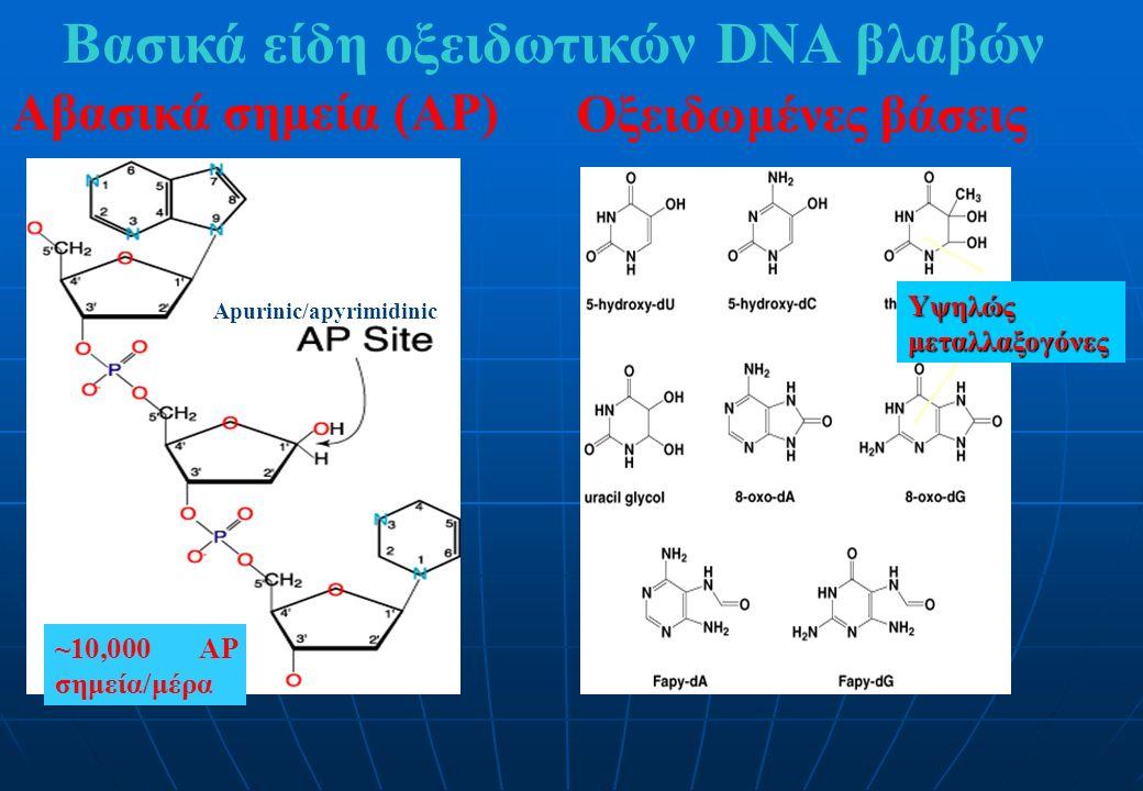 Βασικά είδη οξειδωτικών DNA βλαβών Αβασικά σημεία (AP) Οξειδωμένες βάσεις Apurinic/apyrimidinic Υψηλώς μεταλλαξογόνες ~10,000 AP σημεία/μέρα
