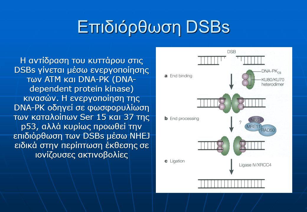 Επιδιόρθωση DSBs Η αντίδραση του κυττάρου στις DSBs γίνεται μέσω ενεργοποίησης των ATM και DNA-PK (DNA- dependent protein kinase) κινασών. Η ενεργοποί
