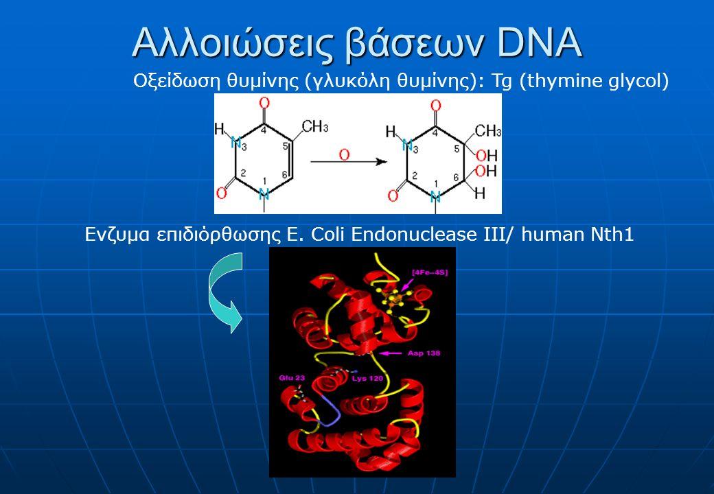 Αλλοιώσεις βάσεων DNA Οξείδωση θυμίνης (γλυκόλη θυμίνης): Tg (thymine glycol) Ενζυμα επιδιόρθωσης E. Coli Endonuclease III/ human Nth1