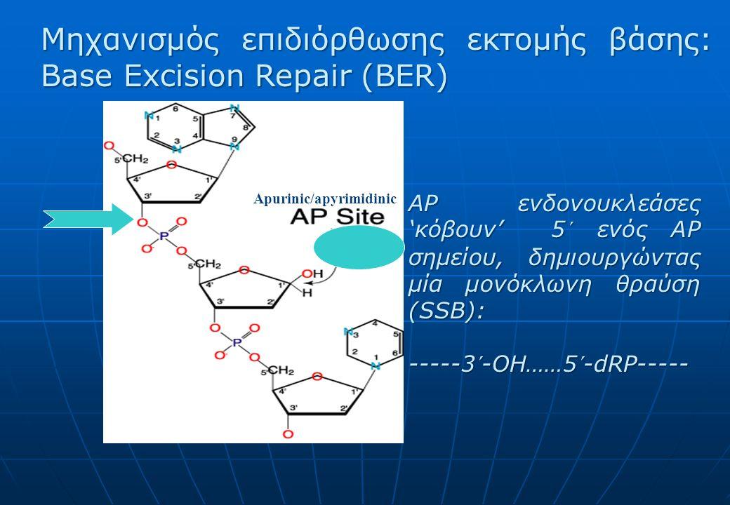 Apurinic/apyrimidinic Μηχανισμός επιδιόρθωσης εκτομής βάσης: Base Excision Repair (BER) AP ενδονουκλεάσες 'κόβουν' 5´ ενός AP σημείου, δημιουργώντας μία μονόκλωνη θραύση (SSB): -----3´-OH……5´-dRP-----