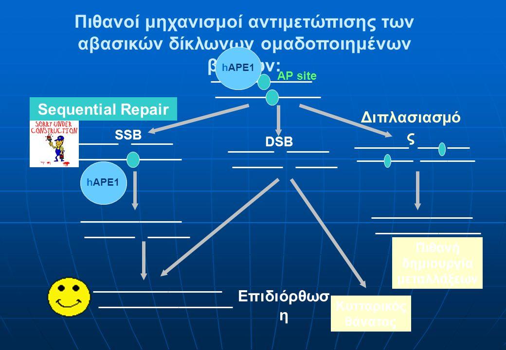 Πιθανοί μηχανισμοί αντιμετώπισης των αβασικών δίκλωνων ομαδοποιημένων βλαβών: SSB hAPE1 DSB Κυτταρικός θάνατος AP site Διπλασιασμό ς Πιθανή δημιουργία