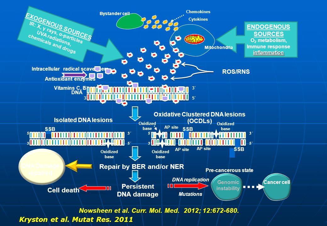 Πιθανοί μηχανισμοί αντιμετώπισης των αβασικών δίκλωνων ομαδοποιημένων βλαβών: SSB hAPE1 DSB Κυτταρικός θάνατος AP site Διπλασιασμό ς Πιθανή δημιουργία μεταλλάξεων Sequential Repair Επιδιόρθωσ η