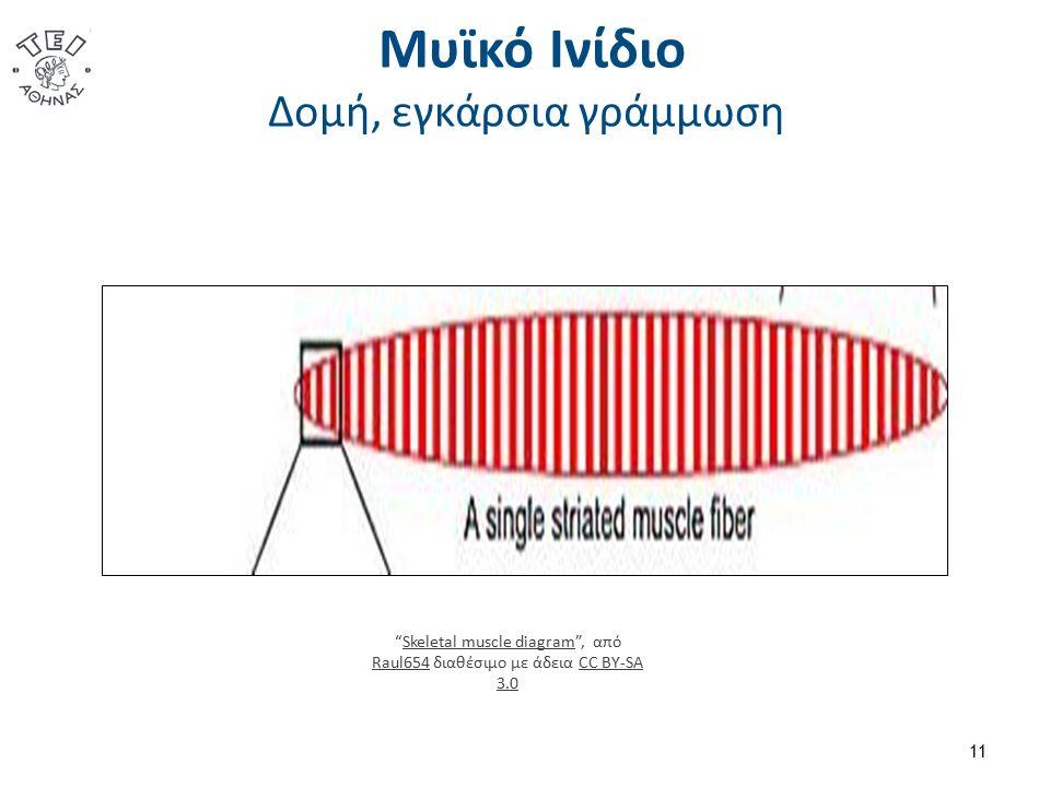 """Μυϊκό Ινίδιο Δομή, εγκάρσια γράμμωση 11 """"Skeletal muscle diagram"""", από Raul654 διαθέσιμο με άδεια CC BY-SA 3.0Skeletal muscle diagram Raul654CC BY-SA"""