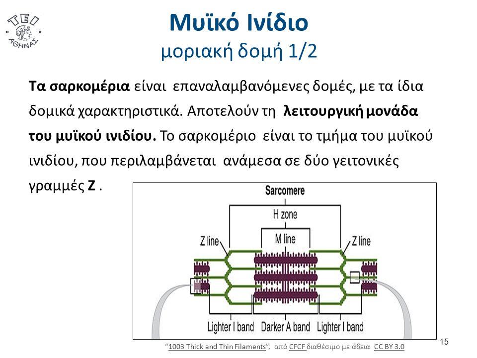 Μυϊκό Ινίδιο μοριακή δομή 1/2 Τα σαρκομέρια είναι επαναλαμβανόμενες δομές, με τα ίδια δομικά χαρακτηριστικά. Αποτελούν τη λειτουργική μονάδα του μυϊκο