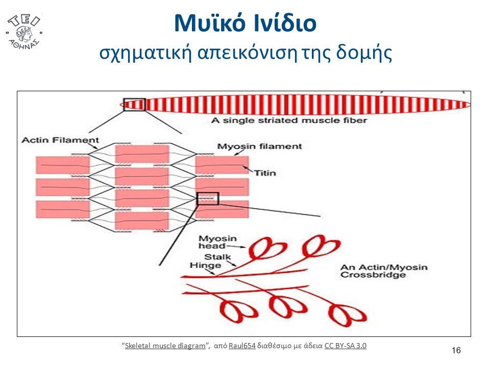 Μυϊκό Ινίδιο σχηματική απεικόνιση της δομής 16 Skeletal muscle diagram , από Raul654 διαθέσιμο με άδεια CC BY-SA 3.0Skeletal muscle diagramRaul654CC BY-SA 3.0