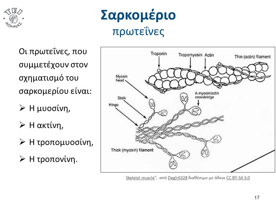 Σαρκομέριο πρωτεΐνες Οι πρωτεΐνες, που συμμετέχουν στον σχηματισμό του σαρκομερίου είναι:  Η μυοσίνη,  Η ακτίνη,  Η τροπομυοσίνη,  Η τροπονίνη.