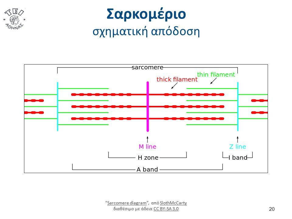 """Σαρκομέριο σχηματική απόδοση 20 """"Sarcomere diagram"""", από SlothMcCarty διαθέσιμο με άδεια CC BY-SA 3.0Sarcomere diagramSlothMcCartyCC BY-SA 3.0"""