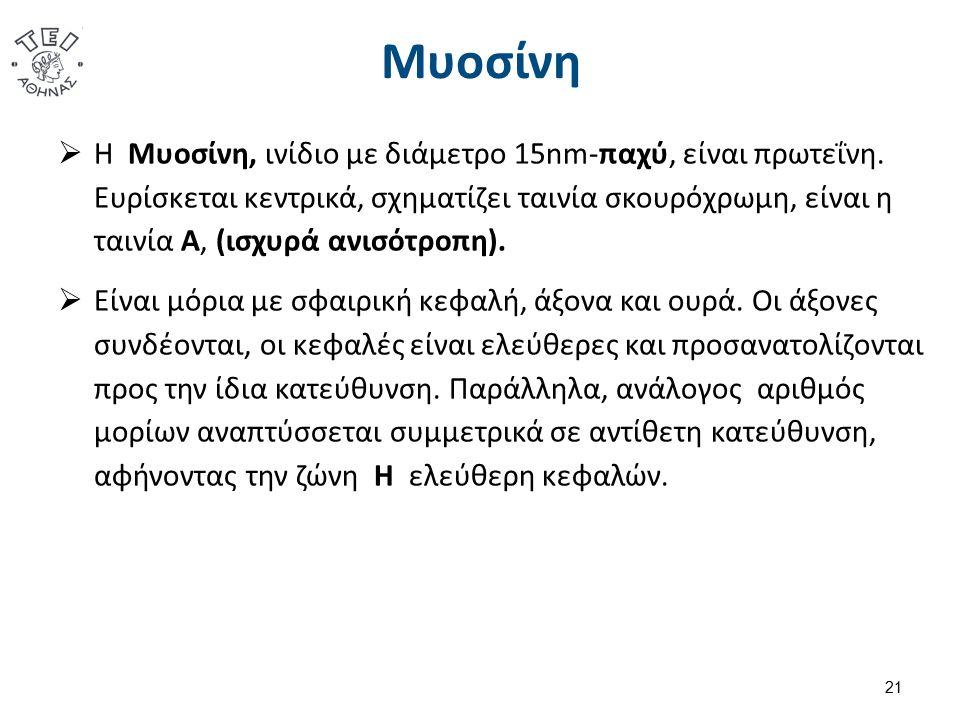 Μυοσίνη  Η Μυοσίνη, ινίδιο με διάμετρο 15nm-παχύ, είναι πρωτεΐνη. Ευρίσκεται κεντρικά, σχηματίζει ταινία σκουρόχρωμη, είναι η ταινία Α, (ισχυρά ανισό