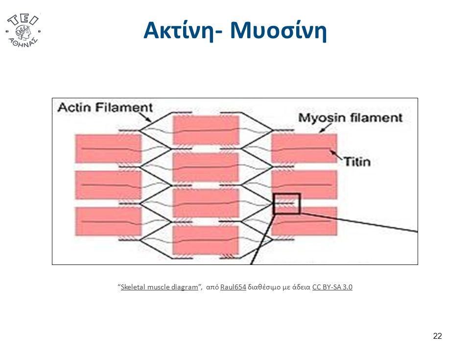 """Ακτίνη- Μυοσίνη 22 """"Skeletal muscle diagram"""", από Raul654 διαθέσιμο με άδεια CC BY-SA 3.0Skeletal muscle diagramRaul654CC BY-SA 3.0"""