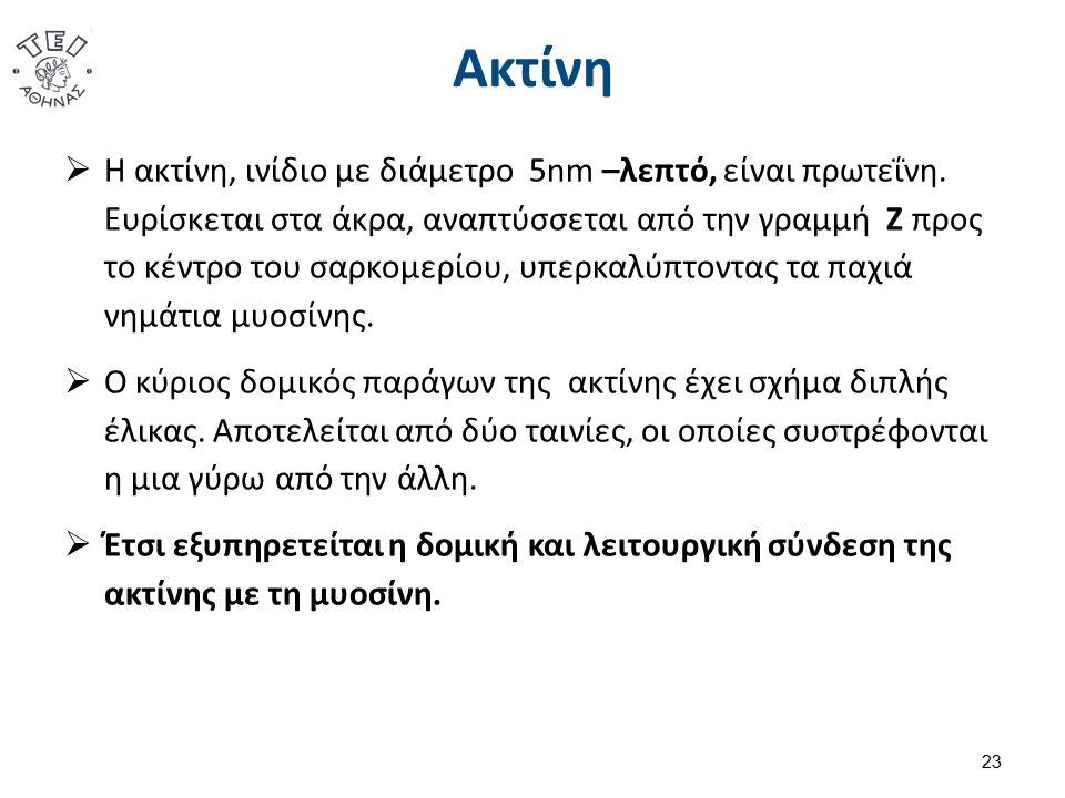 Ακτίνη  Η ακτίνη, ινίδιο με διάμετρο 5nm –λεπτό, είναι πρωτεΐνη.