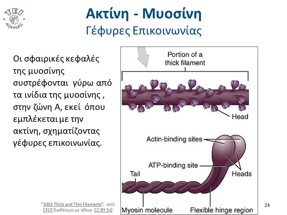 Ακτίνη - Μυοσίνη Γέφυρες Επικοινωνίας 24 Οι σφαιρικές κεφαλές της μυοσίνης συστρέφονται γύρω από τα ινίδια της μυοσίνης, στην ζώνη Α, εκεί όπου εμπλέκεται με την ακτίνη, σχηματίζοντας γέφυρες επικοινωνίας.