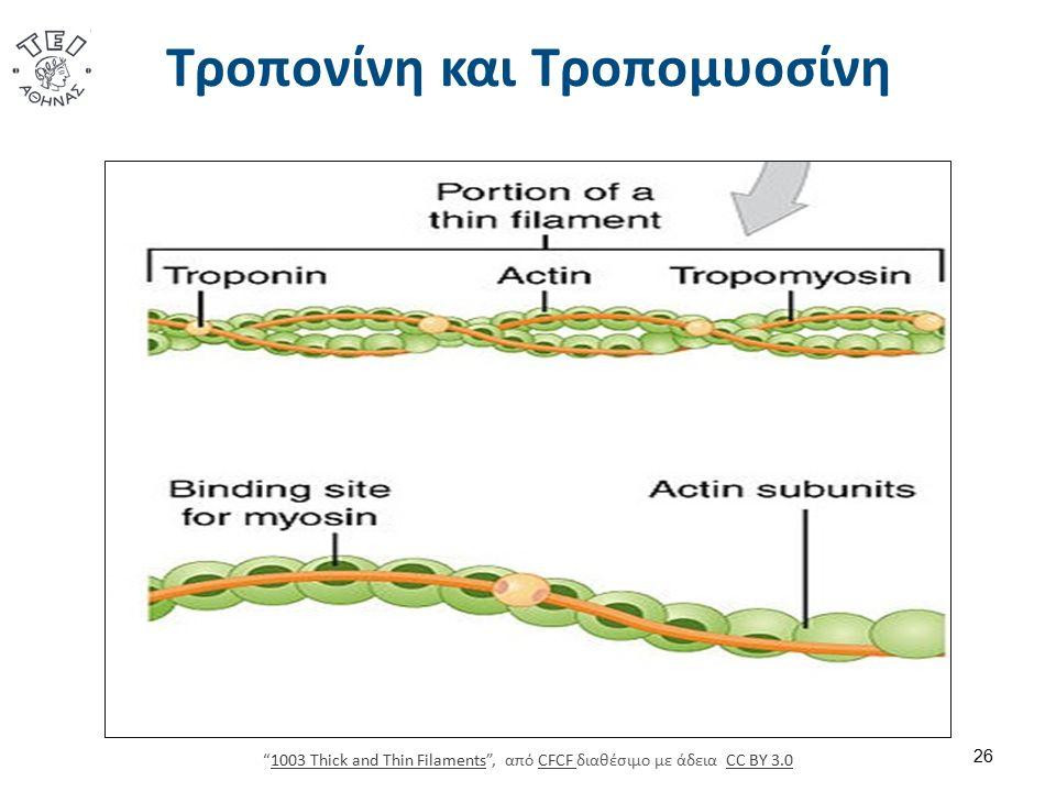 """Τροπονίνη και Τροπομυοσίνη 26 """"1003 Thick and Thin Filaments"""", από CFCF διαθέσιμο με άδεια CC BY 3.01003 Thick and Thin FilamentsCFCF CC BY 3.0"""